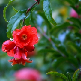 pomegranate_blossoms_young_fruit_new_fruit-min.jpg